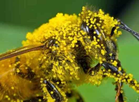 polline-delle-api[1]