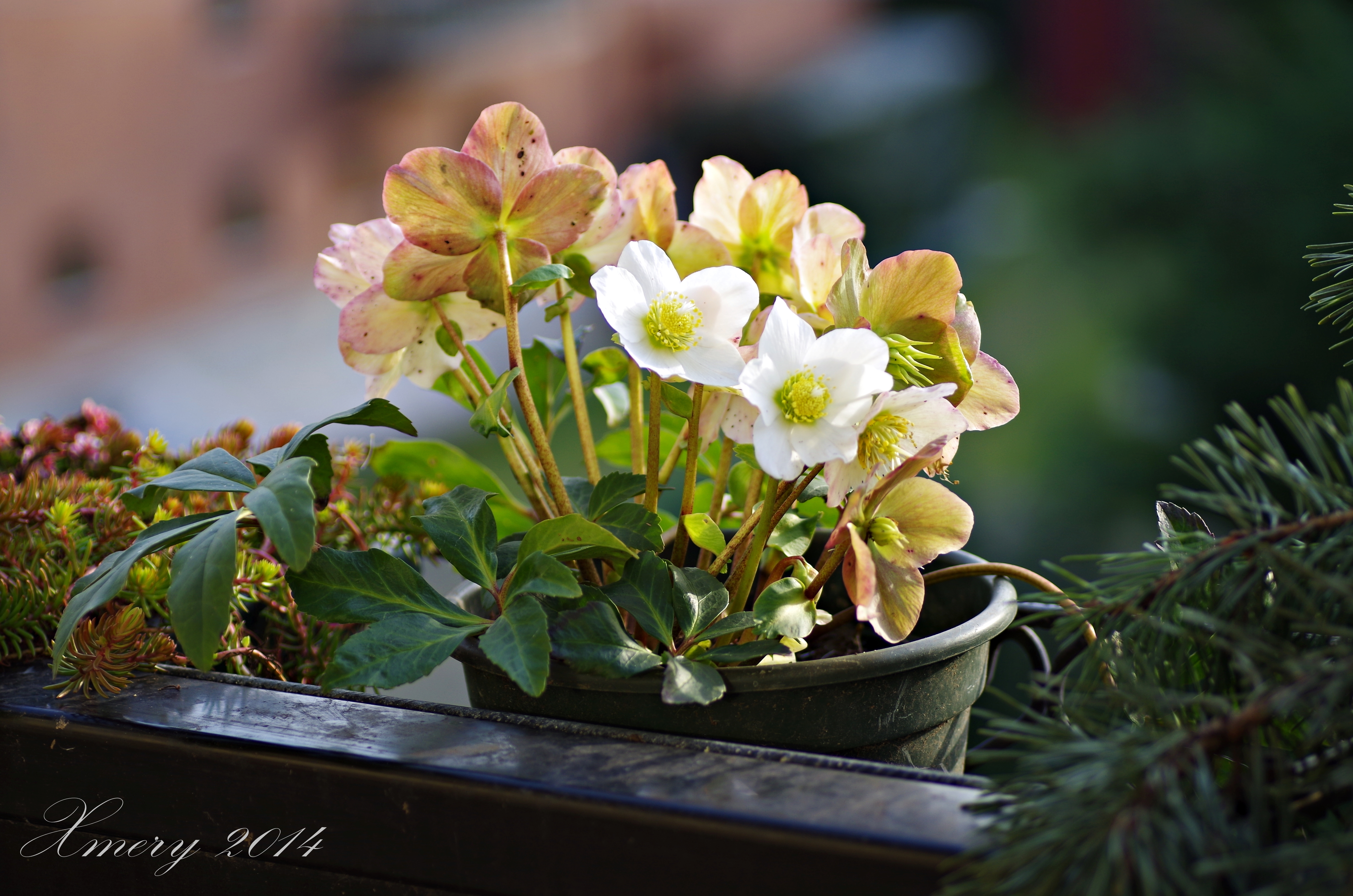 Helleborus niger rosa di natale o elleboro nero for Elleboro bianco