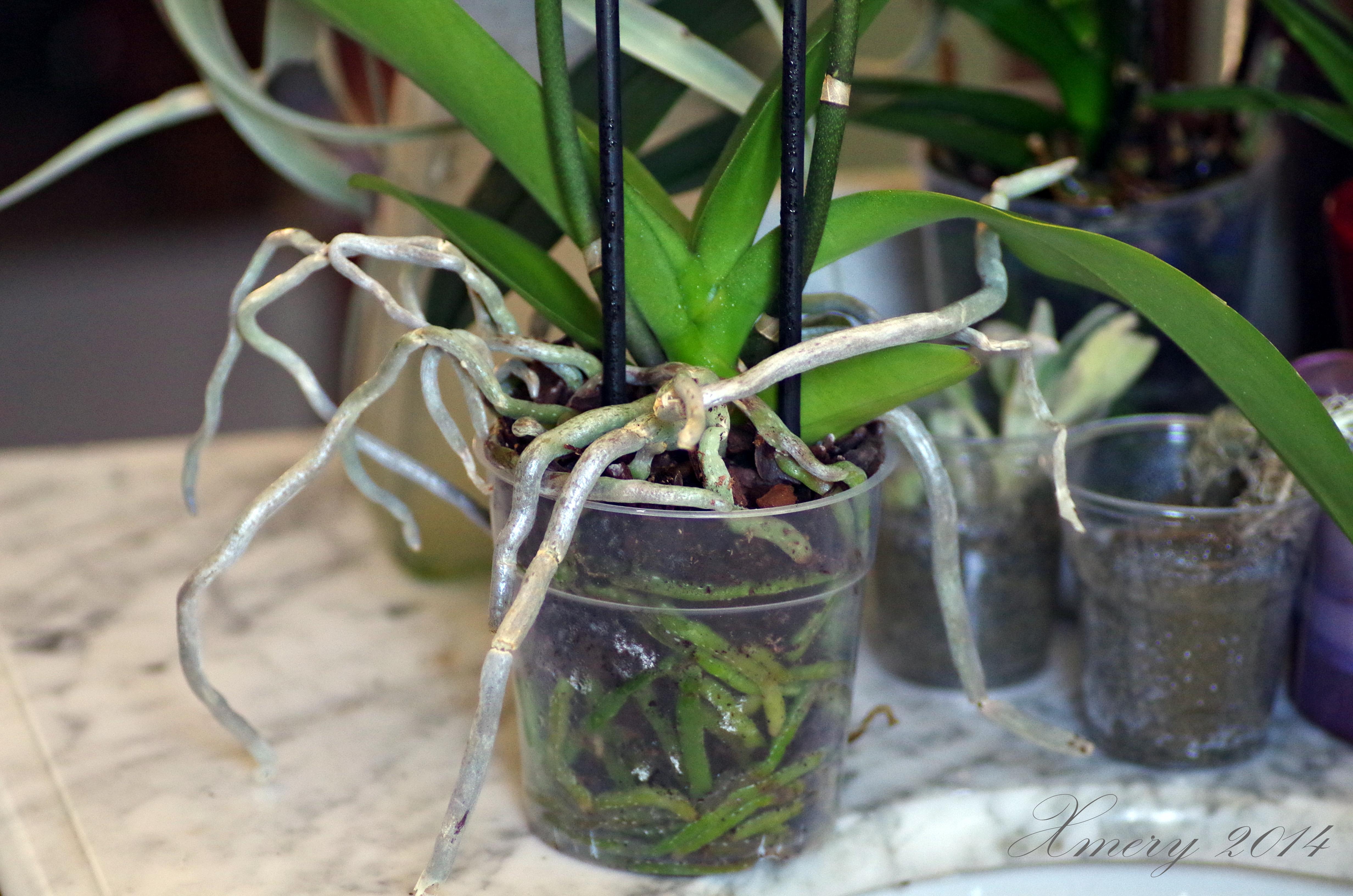 Le mie orchidee ilgiardinonascosto for Orchidea acqua