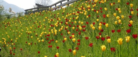 tulipani-slide-_awh_slide