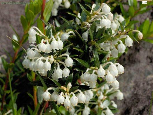 gaultheria_mucronata-fiore-bianco