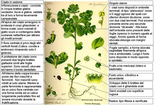 Euphorbia_helioscopia_Thome_DESC